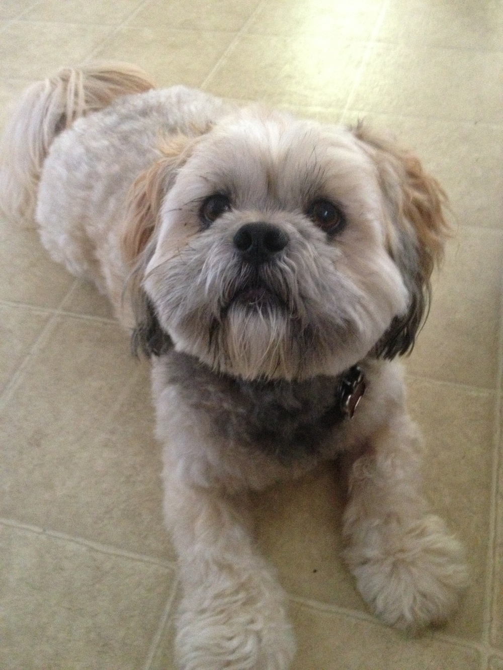 Luci the Lhasa
