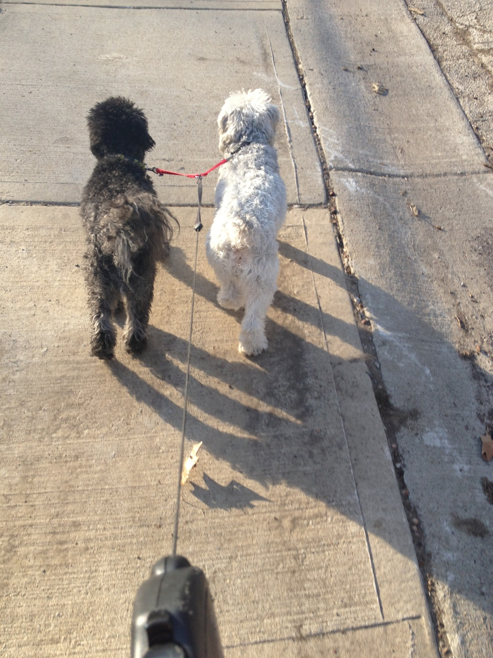 Double the Poodle