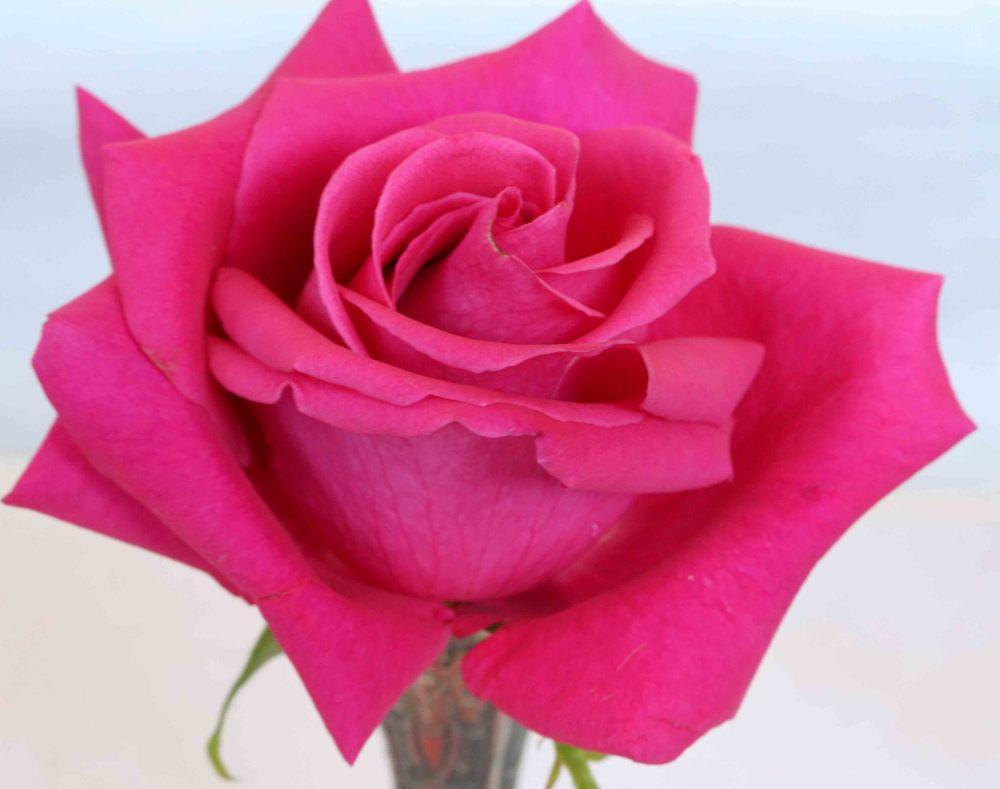 Rose 2850.jpg