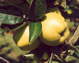 morgan-sweet-apple.jpg