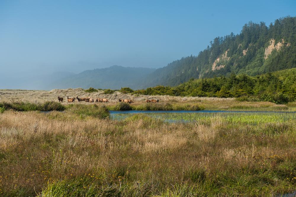 Elk, Headlands and Fog, Prairie Creek Redwood State Park, Northern California Coast, July 2010