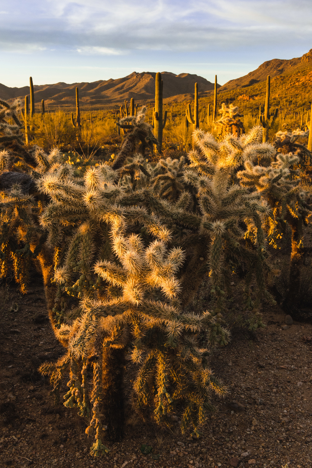 Cholla bathed in December sun, 2015
