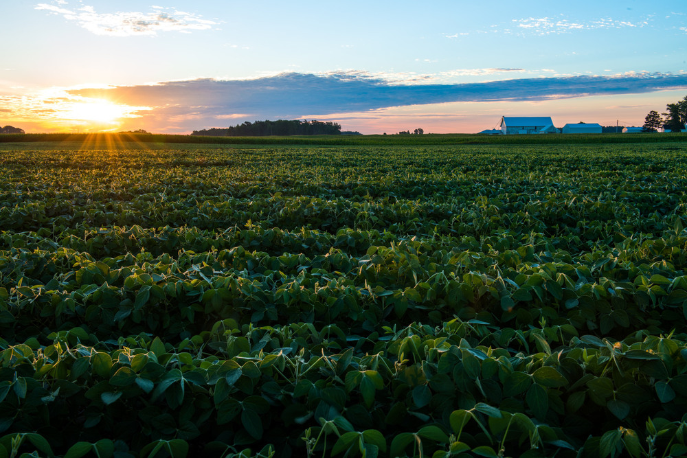 Sunrise and soybeans outside the ancestral farmstead - August 2015