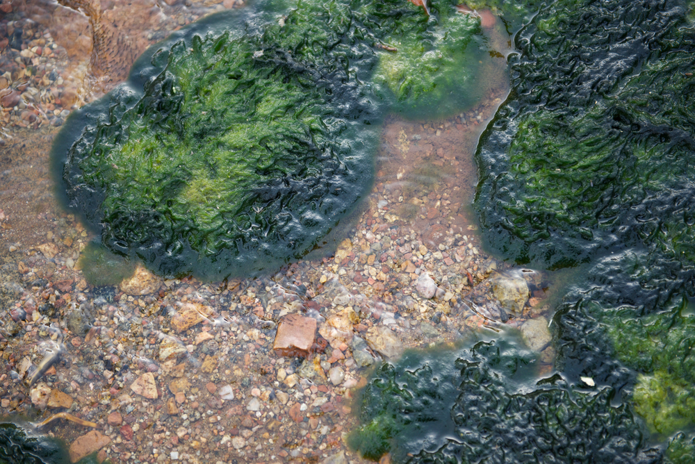 Algae in a Boulder, CO pond
