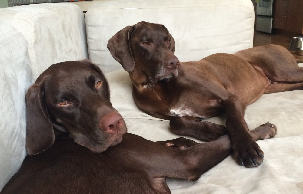 Titan (R) rescued from the streets in Alabama. We named him Ranger, treated him for Heartworm and helped socialize him with other male dogs. Now he is Duke and living the life with a loving family, farm, and three other very happy dogs in South Carolina.