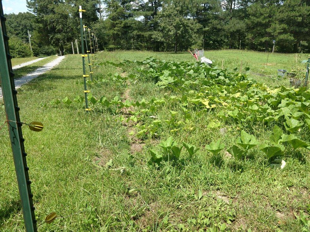 Squash Plant.jpg