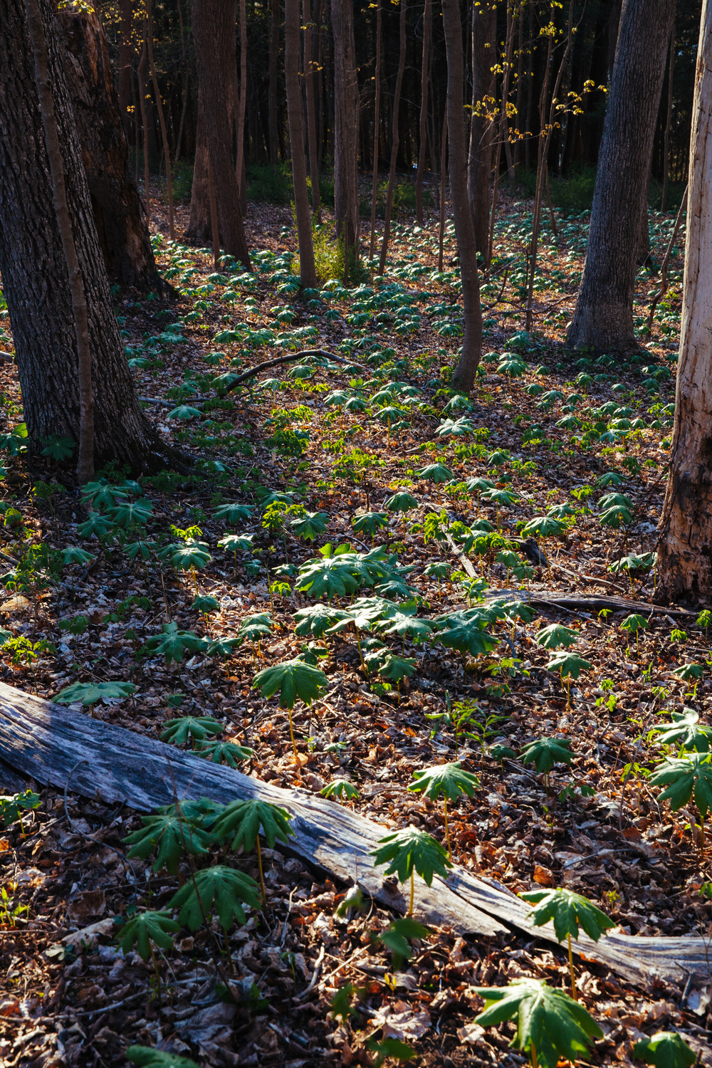 Baby tree saplings growing at the forest floor in the Delaware Water Gap, New Jersey.