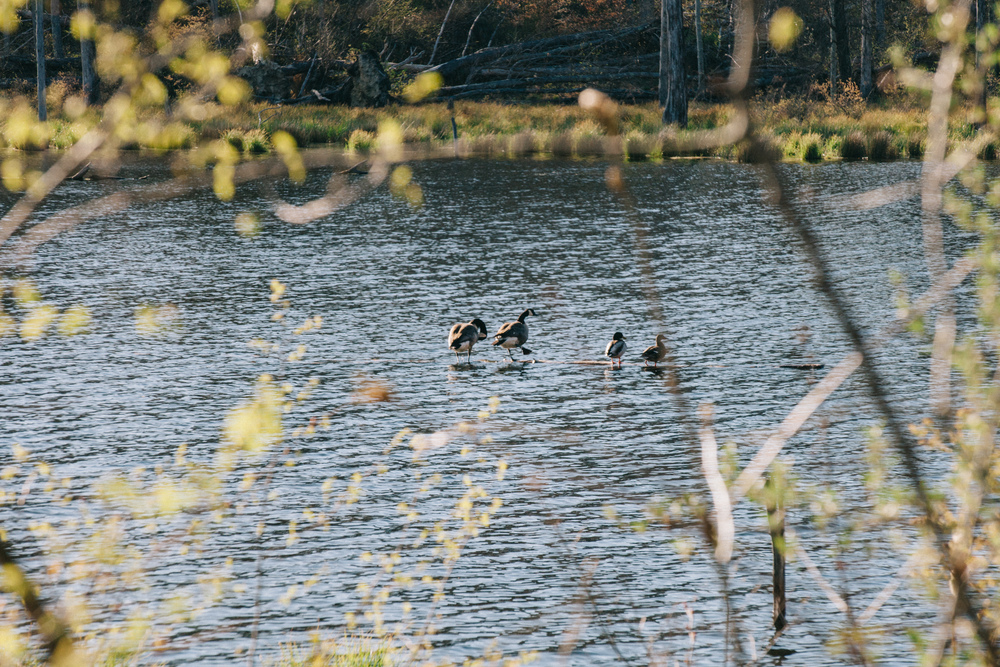 Canada Geese and Mallards on a double date.