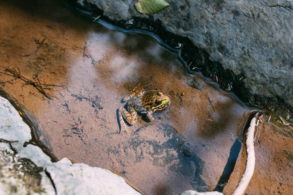 A green frog sits in a tidepool by a waterfall in the Delaware Water Gap, New Jersey.
