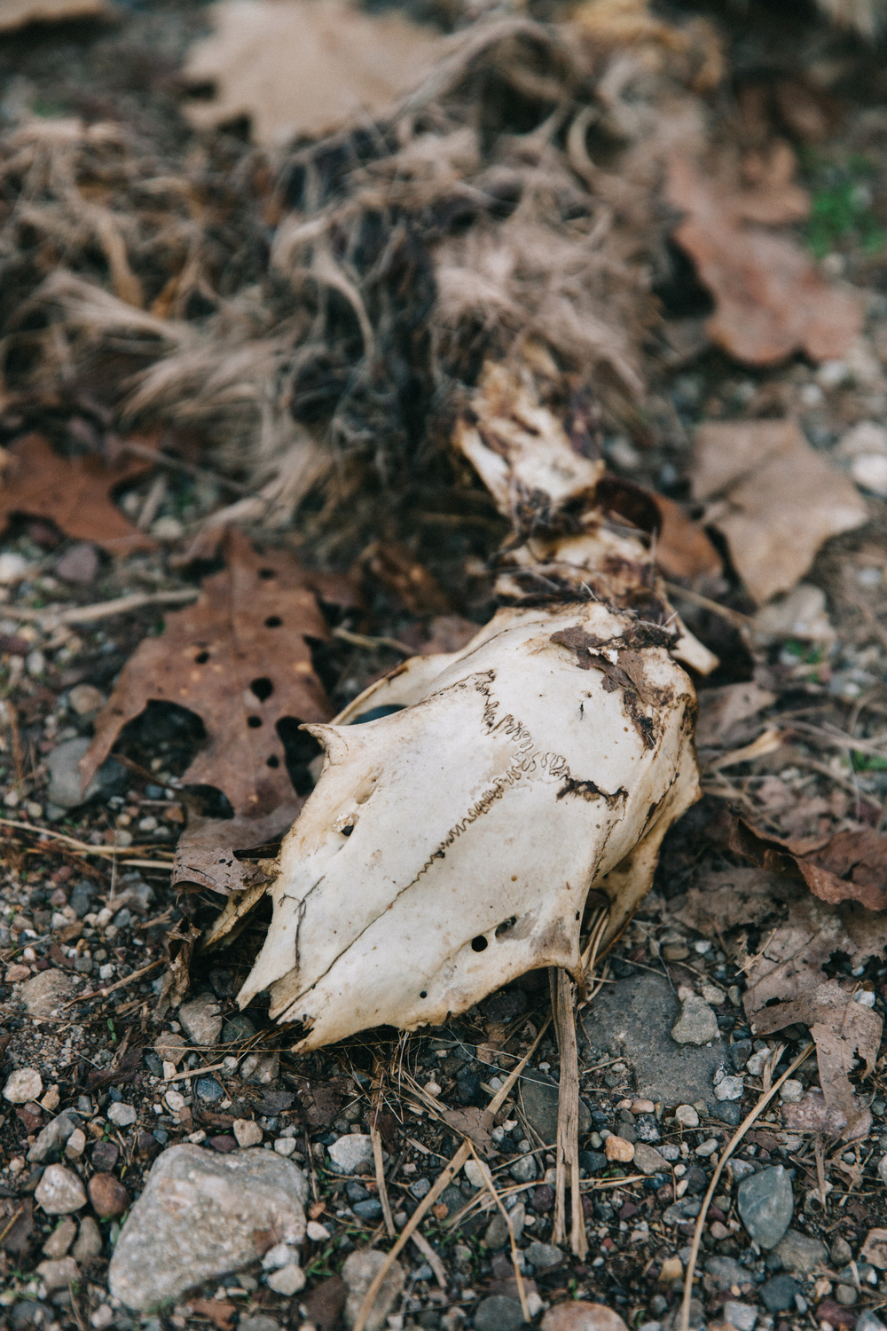 Photographed is a deer skull, which was eaten by coyotes.
