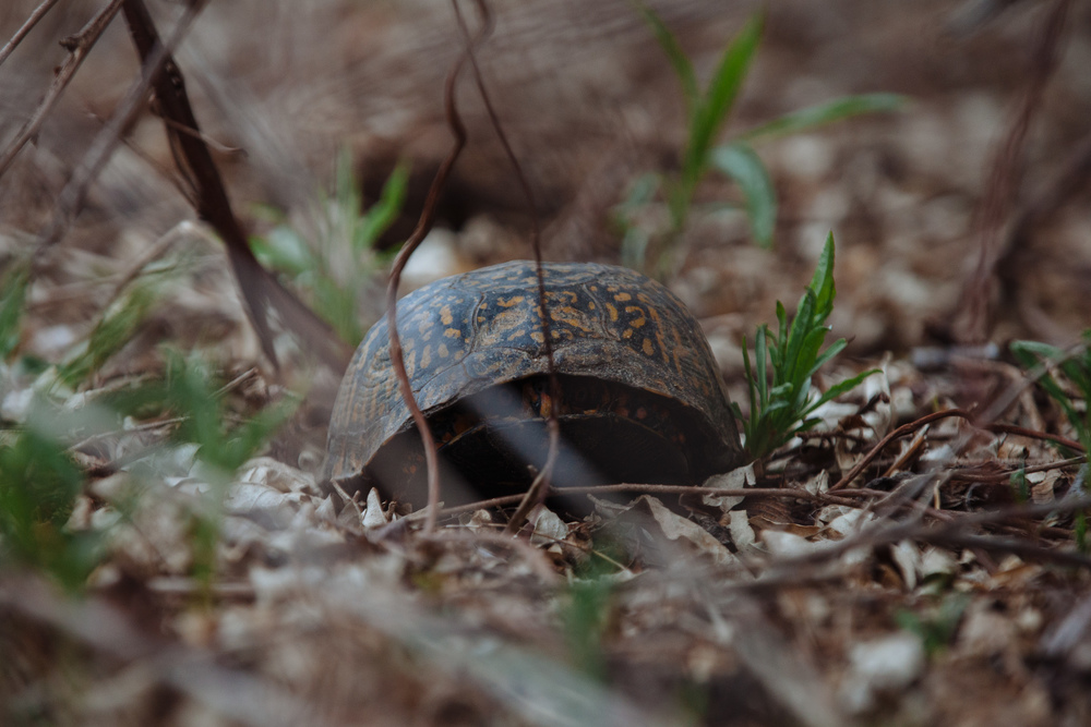 Here, a box turtle hides from its predators at the Delaware Water Gap, New Jersey.