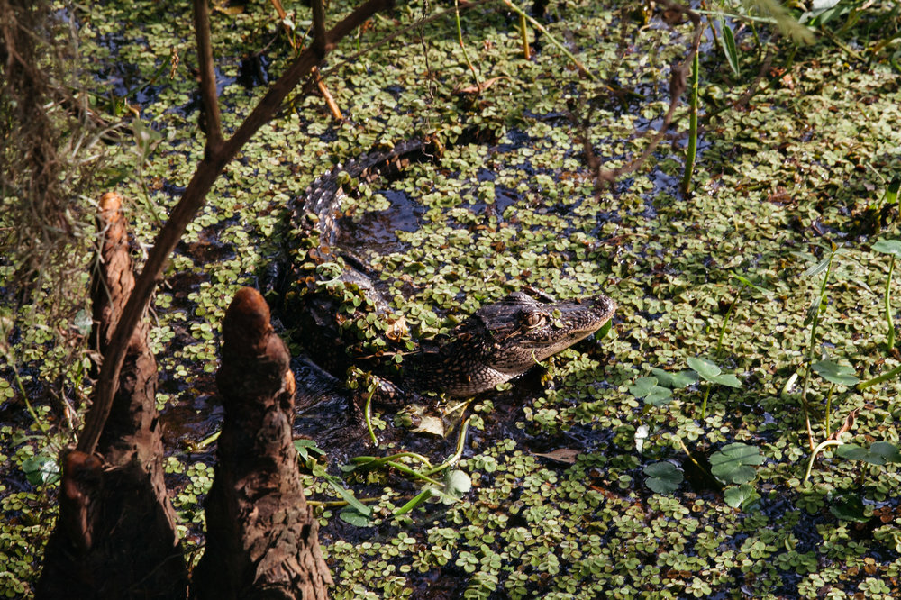An encounter with a baby alligator in the bayou of Jean Lafitte National Historic Park and Preserve in New Orleans, Louisiana.