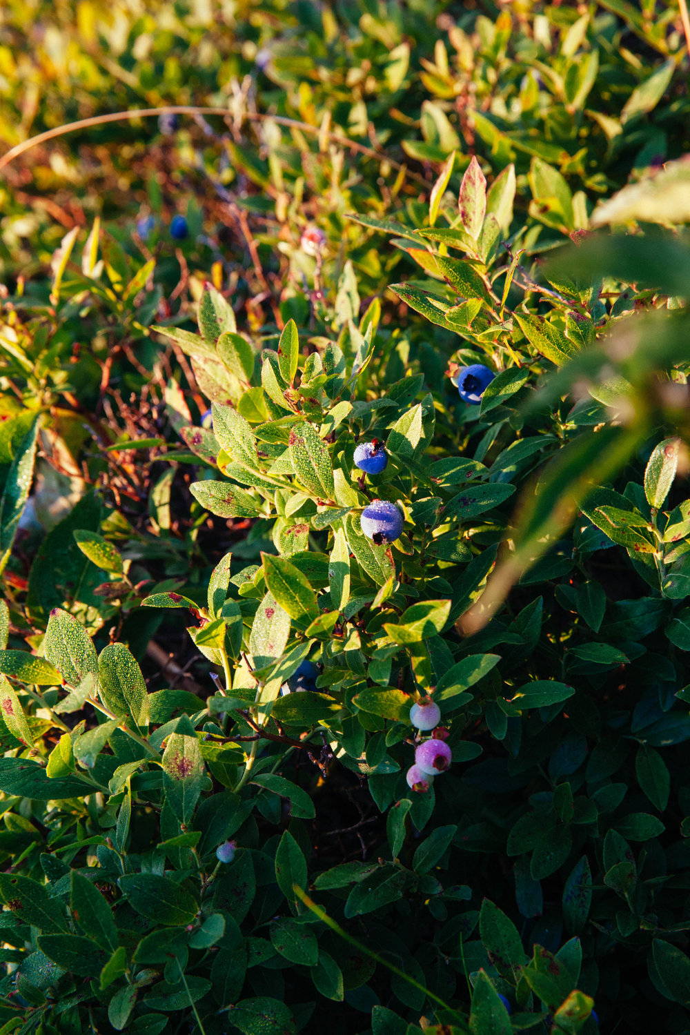 Wild blueberries line the side of Cadillac Mountain, a perfect snack for watching the sun come up.