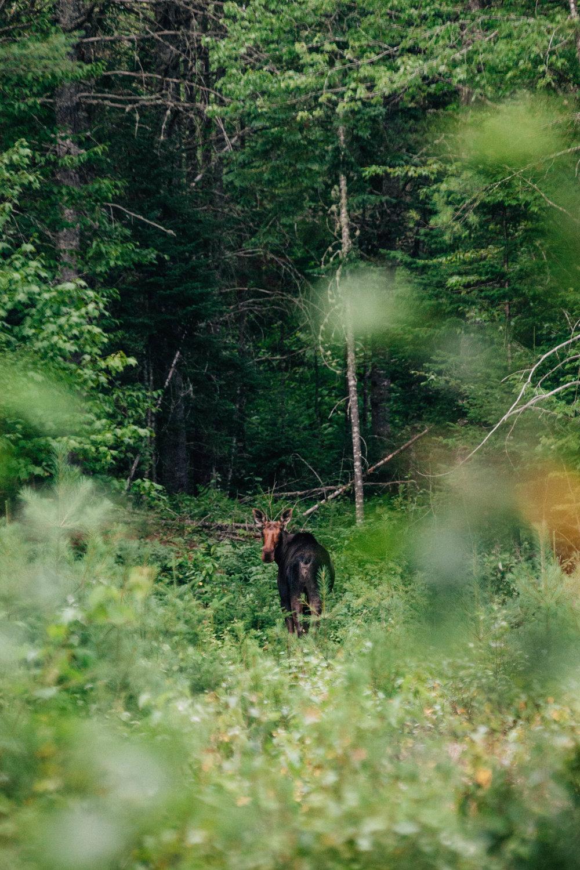 Moose caboose.