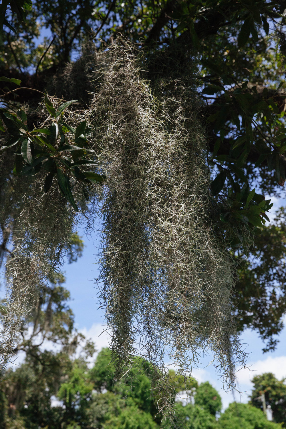 Spanish moss hangs from a tree at Jean Lafitte National Park in Louisiana.