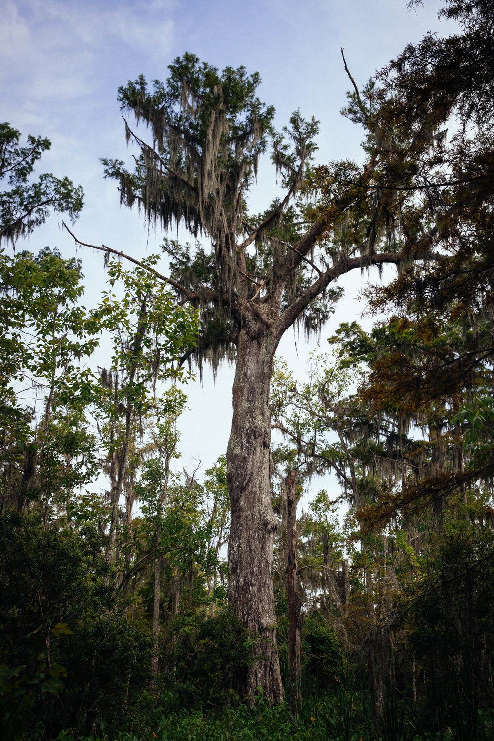 Large trees covered with spanish moss in the bayou at Jean Lafitte National Park.