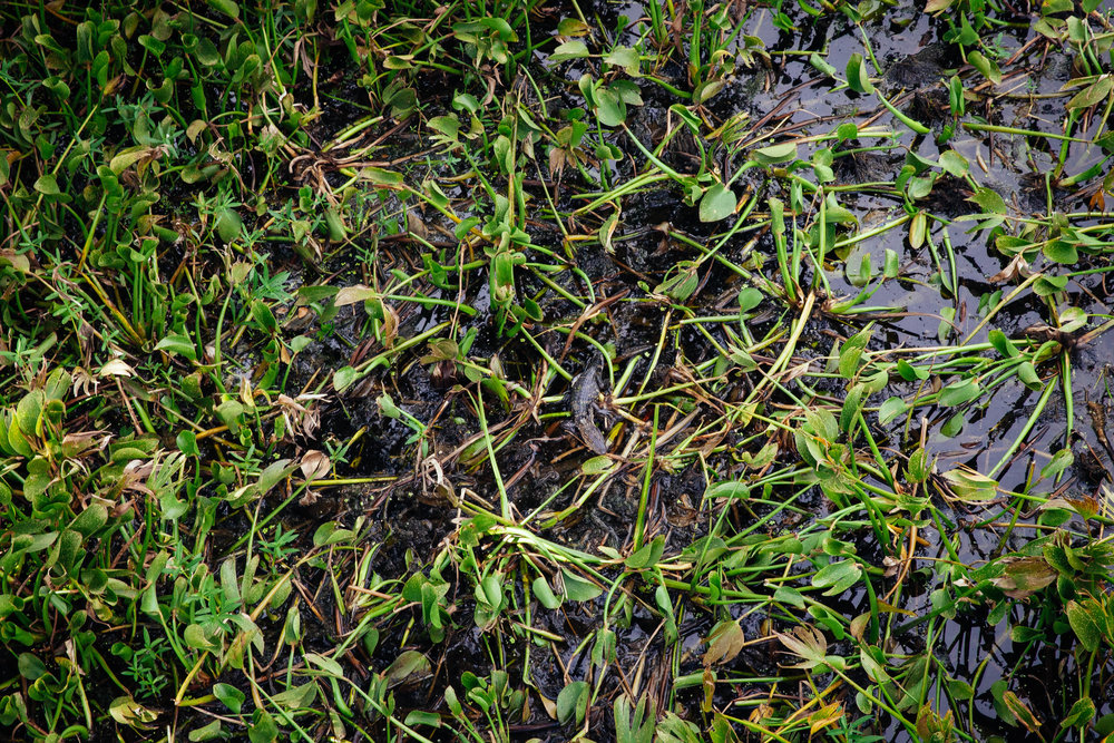 Baby alligator at Jean Lafitte National Park.