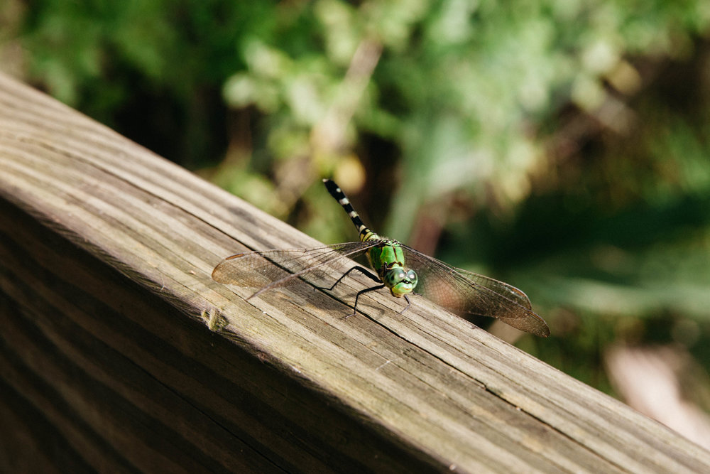 A large green dragonfly stops by at Jean Lafitte National Park in Louisiana.