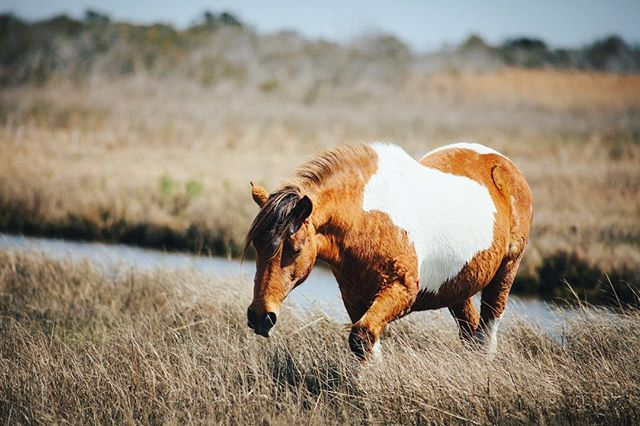 Current mood (weather induced) . . 💙 . . . #assateague #maryland #wildhorses #horsephotography #horsesofinstagram #equestrianphotography #horsetagram #lookhorse #assateaguenationalseashore #easternshoremd #delmarva #compassandcanvas #equineart #travelphotography #instagood #justgoshoot #photooftheday #horse #peoplescreatives #thevisualscollective #passionpassport