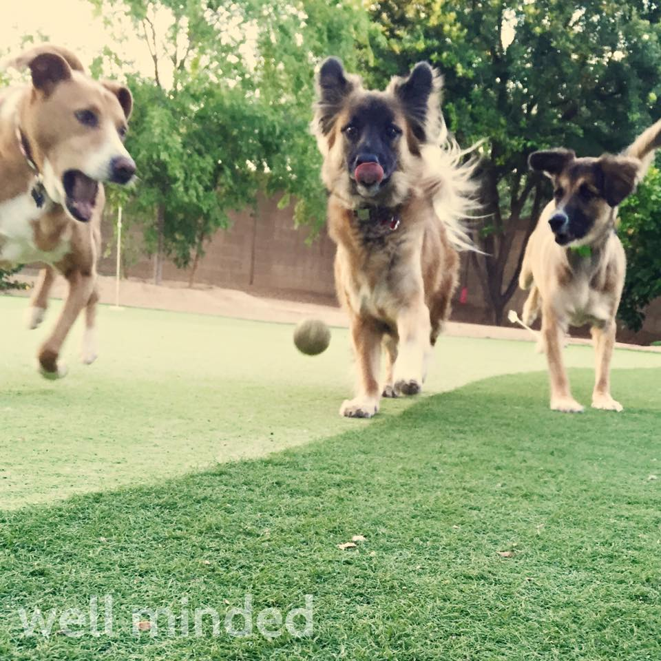 This was an early morning game of fetch with some special pooches. Their family was one of my first clients. None of these dogs was in the family when I first started caring for their pets. We've been through passings and happy times, and a lot together. This captures the personalities of these three, how we play together, and how fun they are, which makes me happy.