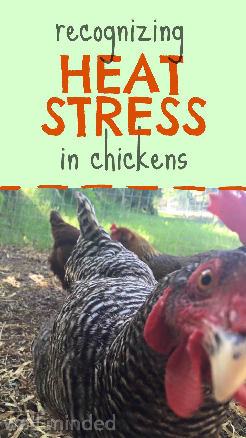 Recognizing heat stress in chickens and how to prevent and treat an overheated chicken.