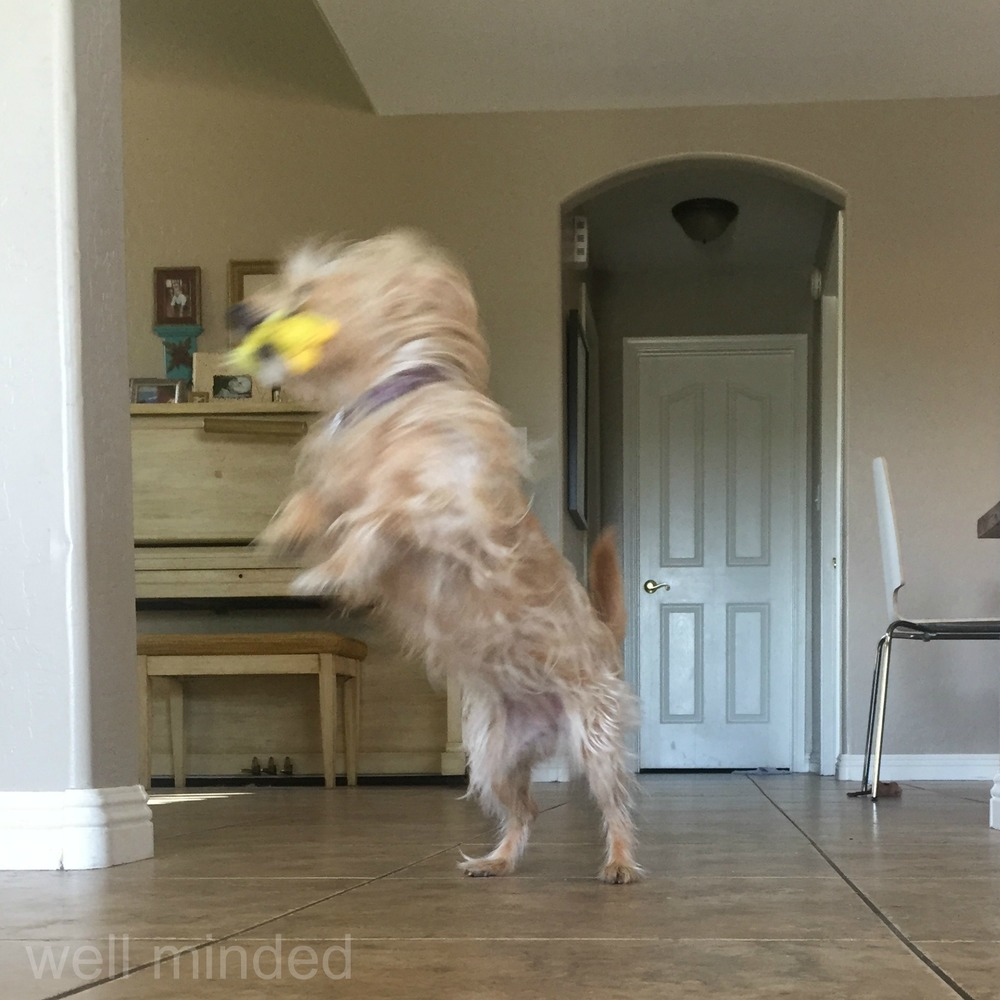 """Nope. Blog post."" Must...combat...the...crinkle. Will play like a wild wolf with my ducky, instead. The struggle is real.–wellmindedpets.com"