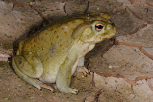 The Sonoran Toad. photo credit: Randall D. Babb, Arizona Game and Fish Department, Mesa, AZ.