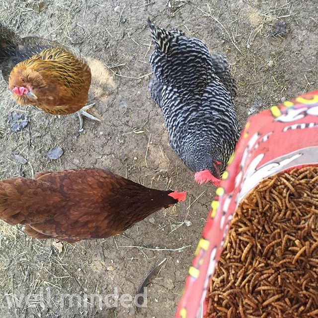 Never in my wildest dreams did I ever think I'd be a chick magnet. But with these worms... #chickmagnet #petsitting #chicken