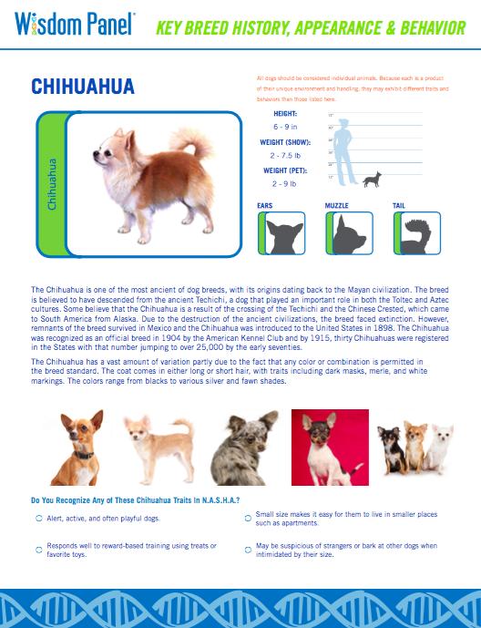 Chihuahua characteristics.