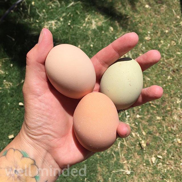 Rainbow eggs! So fun! #petsitting #backyardchickens #chickens