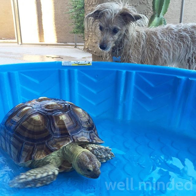 Cooling off on a hot afternoon. #dog #sulcata