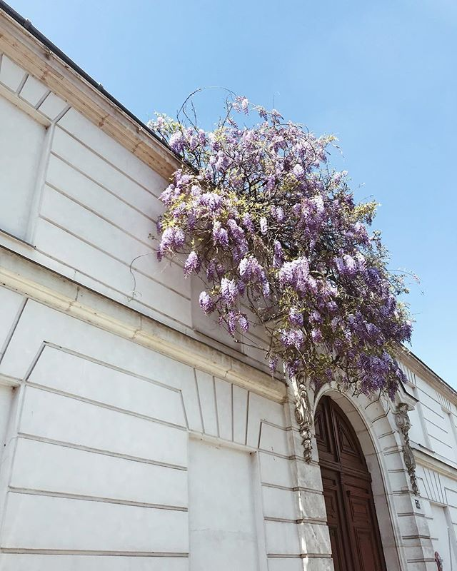 #wisteriahysteria