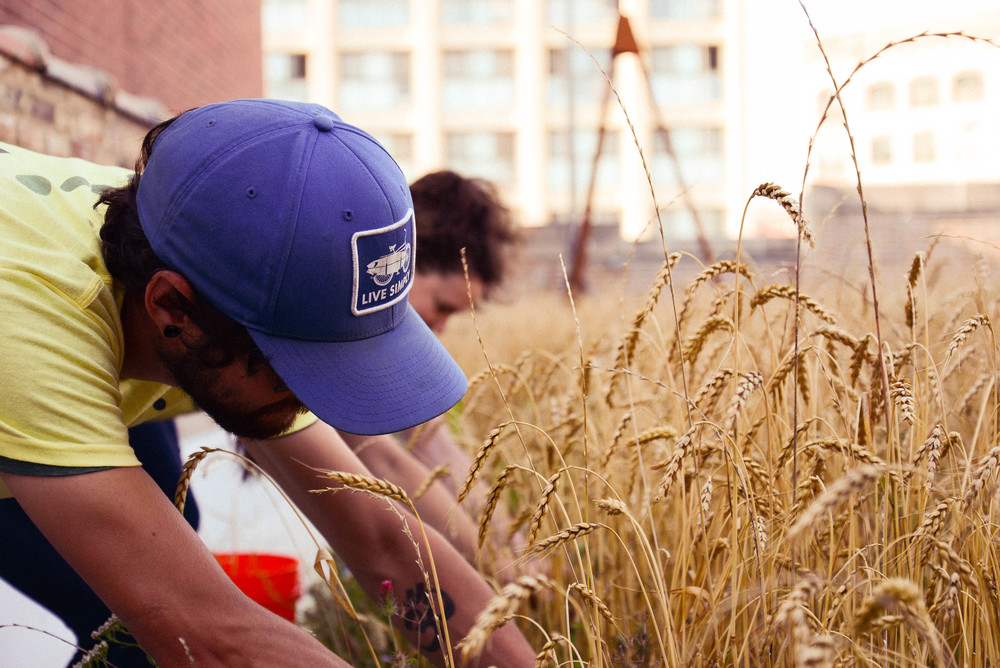 Omni Ecosystems, Studio Gang Architects and The Roof Crop facilitate Chicago's first rooftop wheat harvest.
