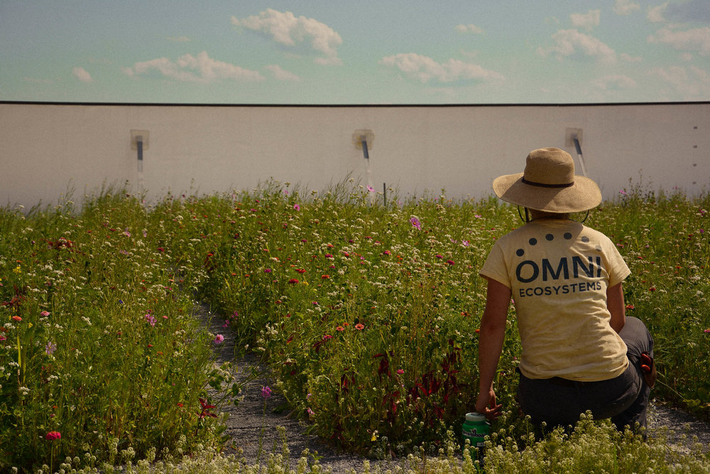 Omni tends to the newly-seeded green roof atop the Indiana Pacers facility.