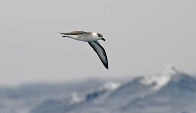 The Black-Capped Petrel