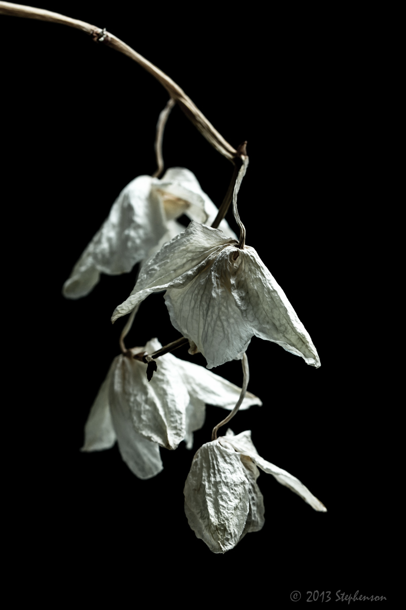 orchids fading.jpg