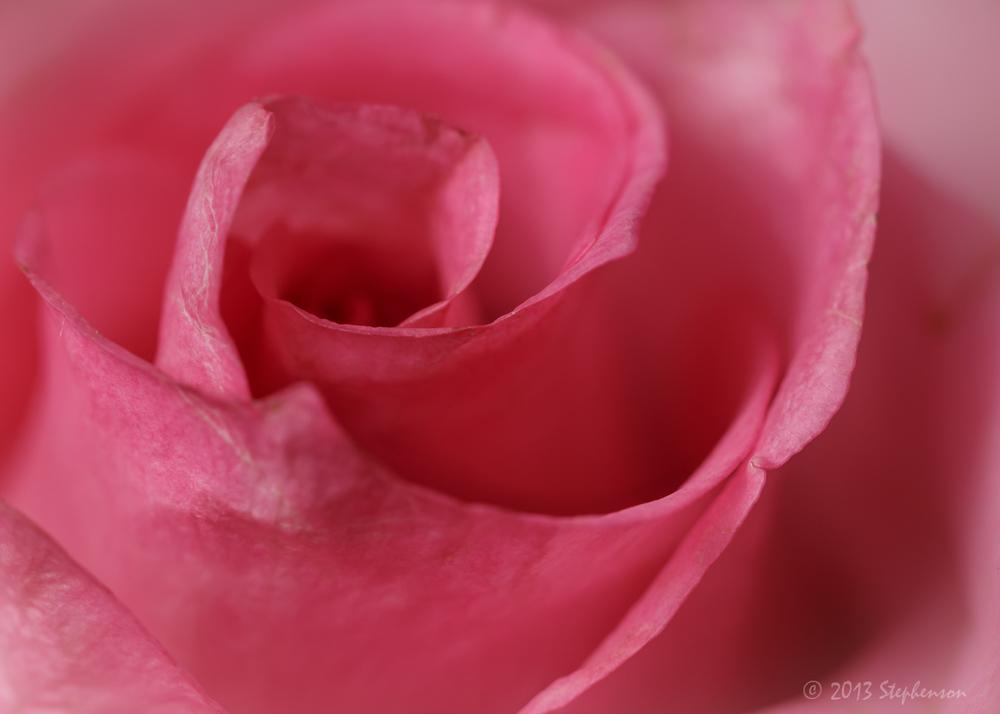 Pink rose 2013-10-14.jpg