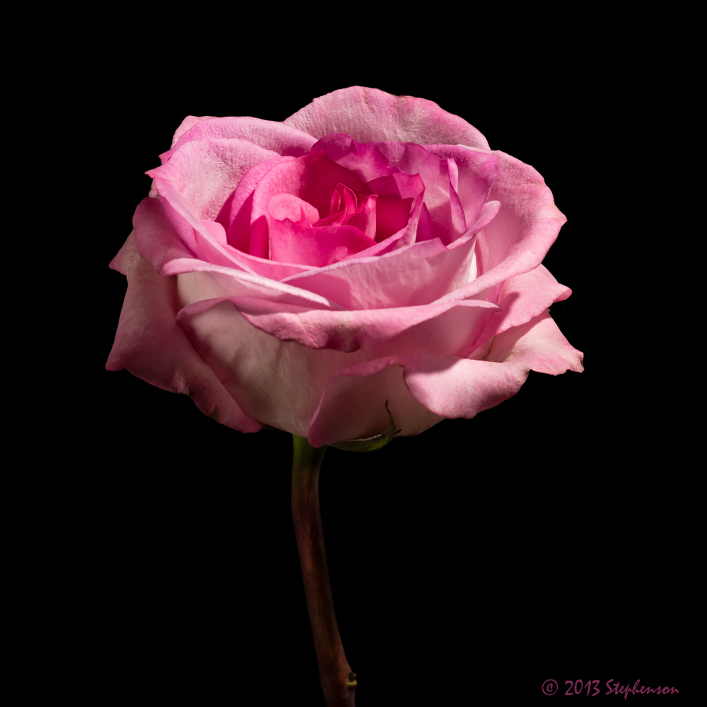 Pink rose on black.jpg