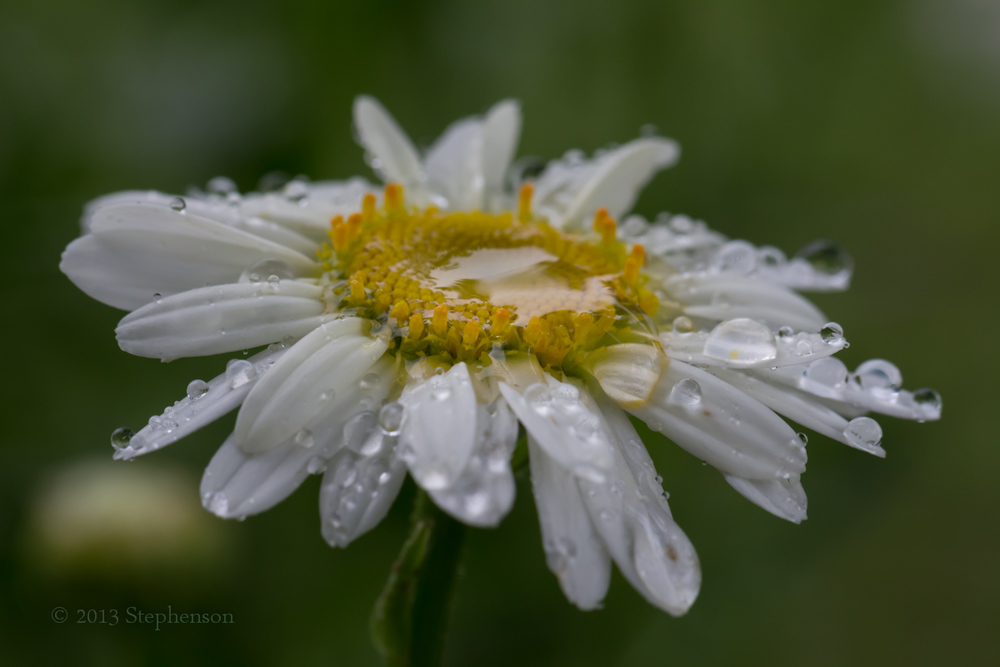 raining on daisy.jpg