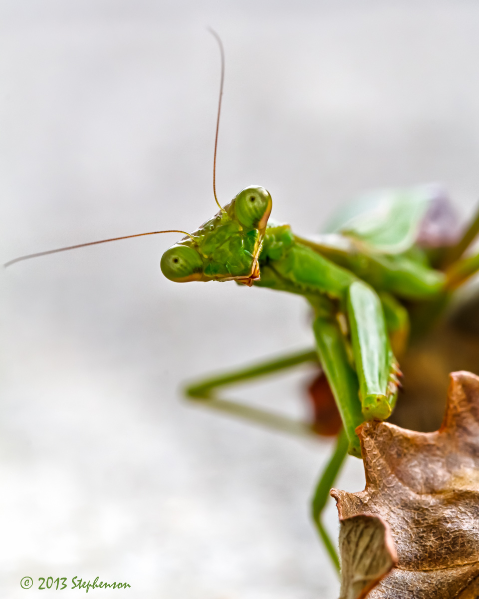Praying Mantis 2013-10-24.jpg
