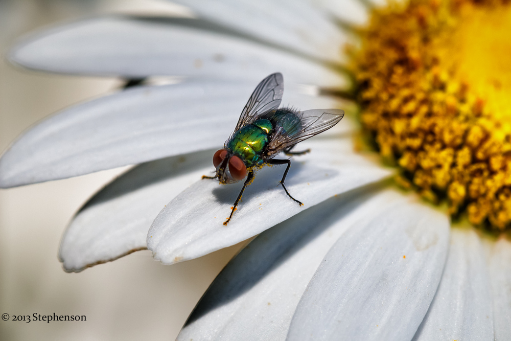 green fly daisy macro.jpg