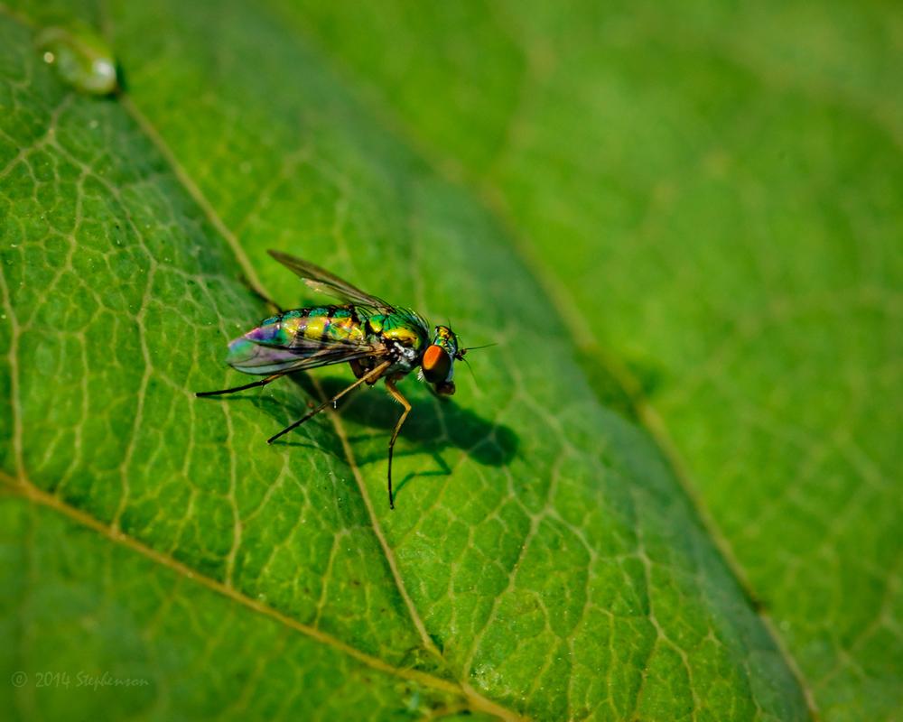 Green Fly Macro.jpg