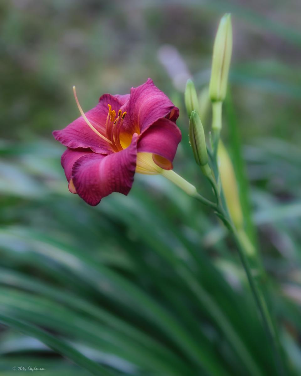Lily 3.jpg