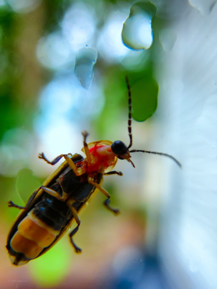 Lightening Bug on the Window.jpg