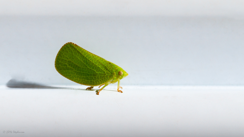 I found this Leaf Hopper in the same spot as the one in the photo from day 263. I think it is the same guy. :)