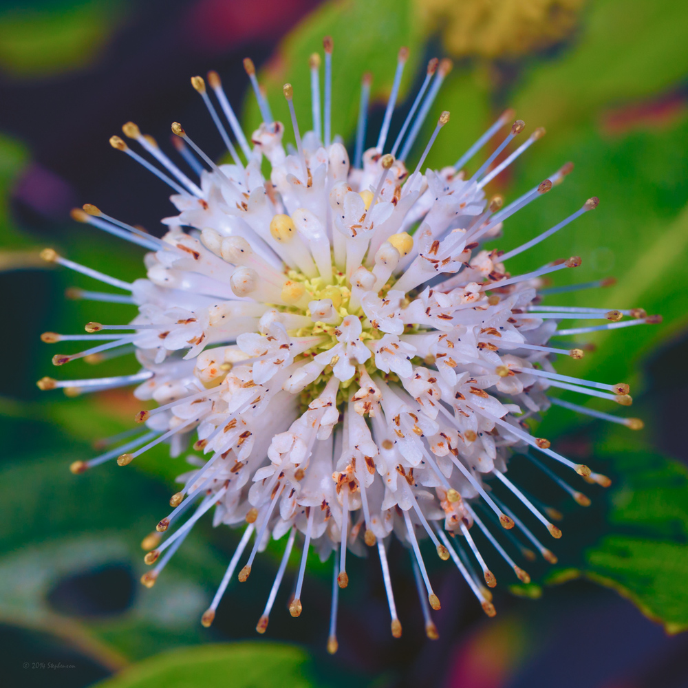 Button Bush Flower