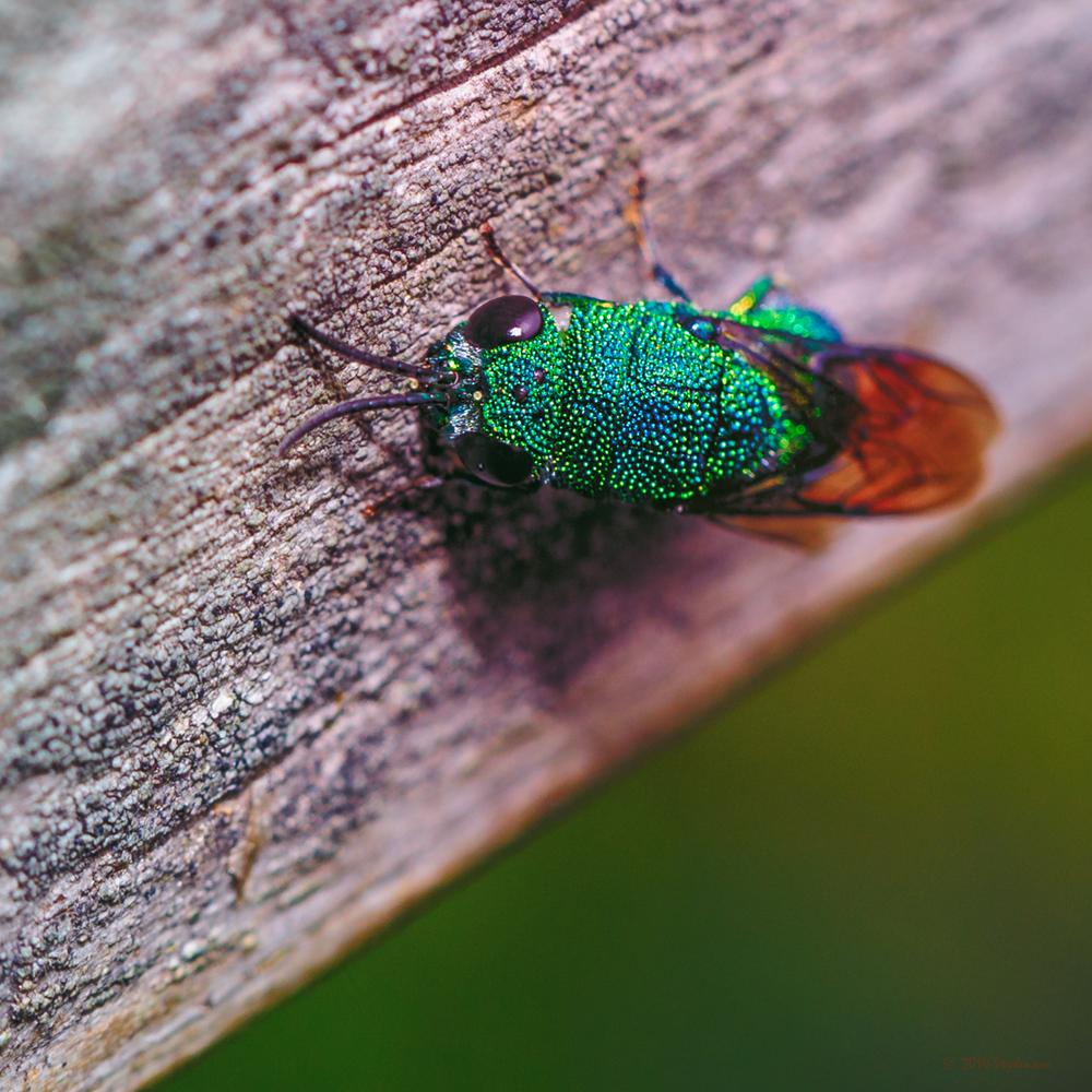 Jeweled Fly