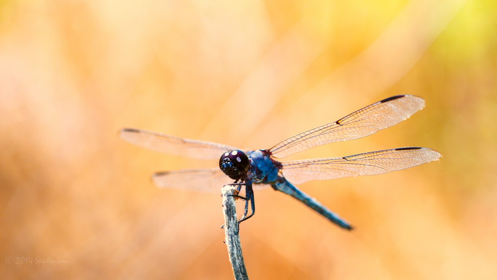 Blue Dragonfly in the Sun