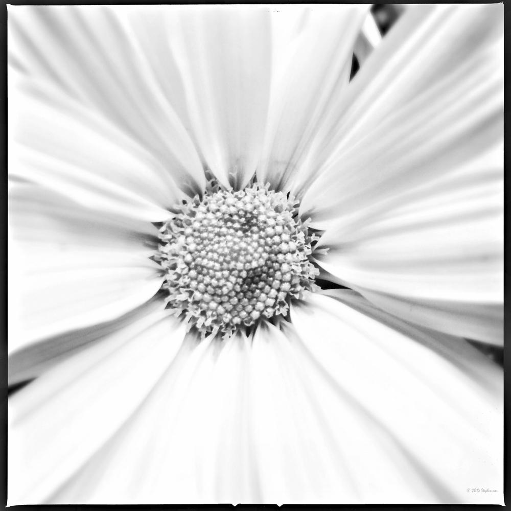 Monochrome Daisy.jpg