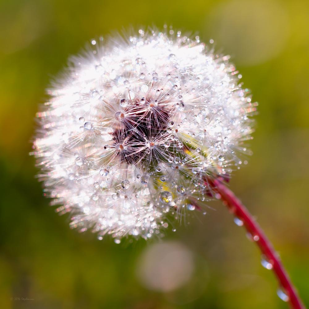 Dandelion Sparkle.jpg